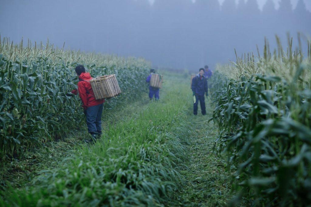 早朝の収穫風景