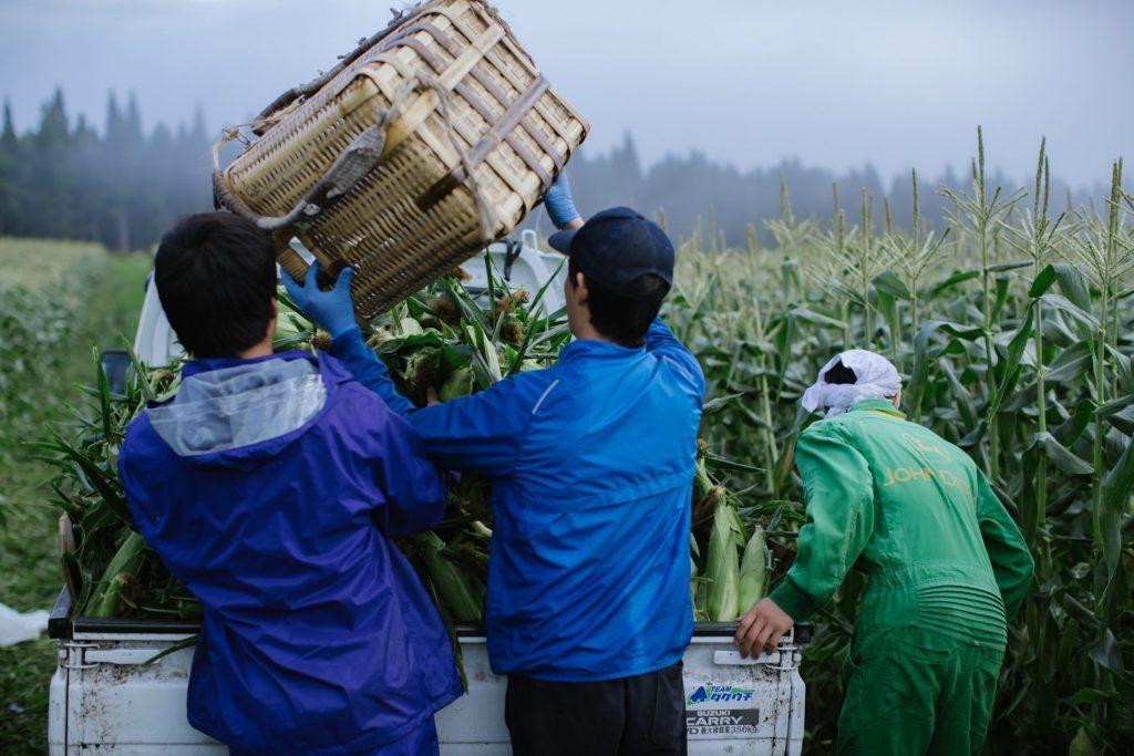 Three trainees cropping corns