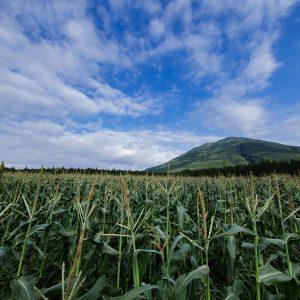 corn field with blue sky