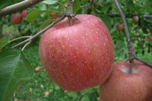 収穫前のふじりんご