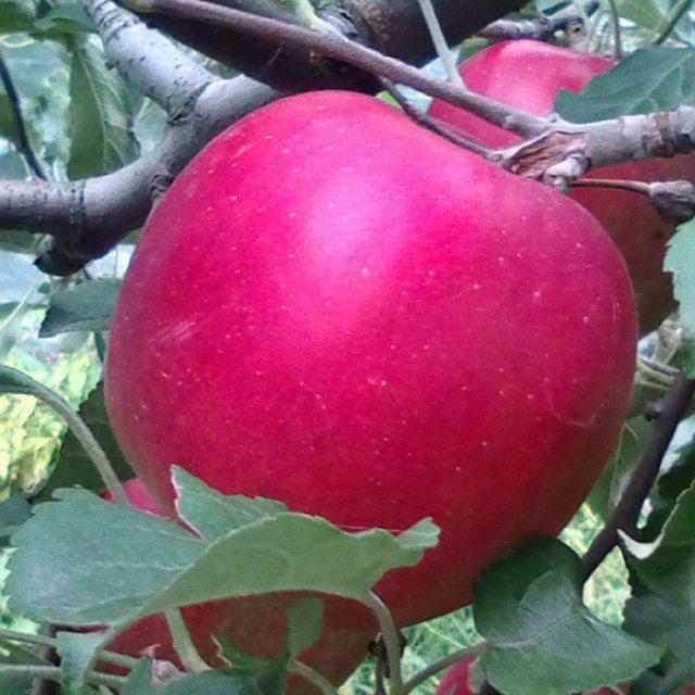 紅玉(収穫前)