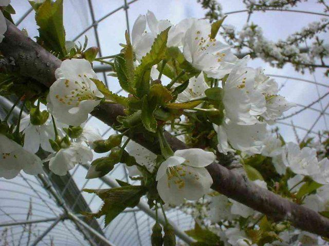 桜の花を写した写真