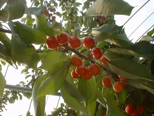 さくらんぼが枝に成っている様子
