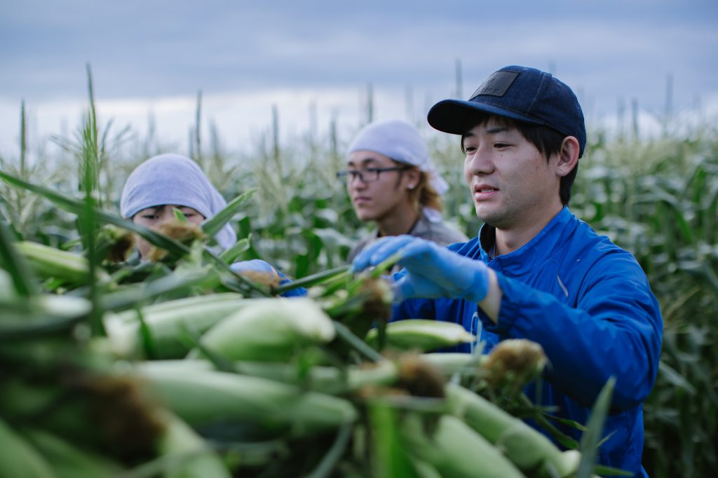 Three trainees are cropping corns